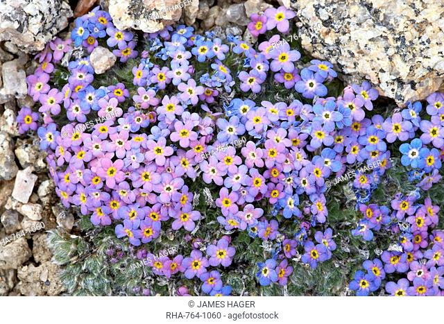Alpine forget-me-not Eritrichium nanum, Mount Evans, Colorado, United States of America, North America