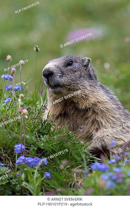 Alpine marmot (Marmota marmota) among wildflowers in summer in the Alps