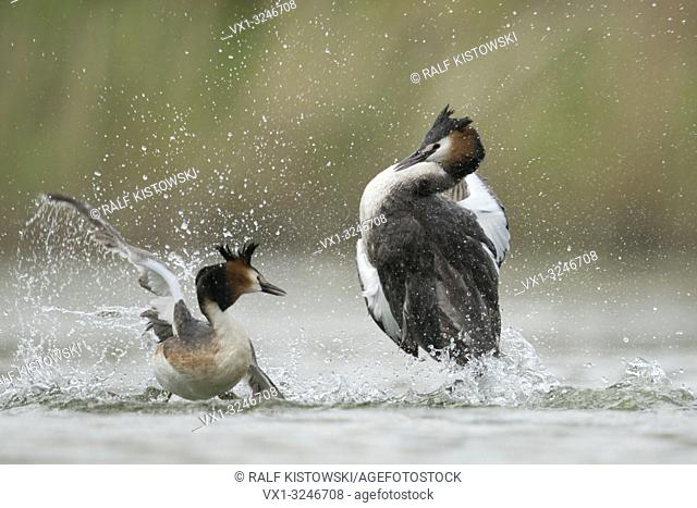 Great Crested Grebe / Haubentaucher ( Podiceps cristatus ), rivals, territorial behaviour during mating season, in hard fight, fighting.