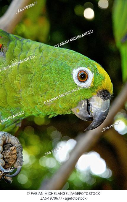 Yellow-crowned Amazona parrot (Amazona ochrocephala), Margarita Island
