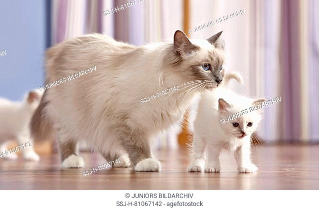 Sacred cat of Burma. Mother with two kittens (4 weeks old) walking on parquet. Germany