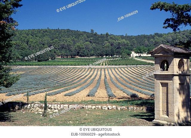 Near St Maximin, Vineyard,Coteaux Varois, Chateau la Calisse, lavender & vines