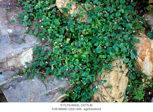 Ivy-leaved Toadflax, Cymbalaria muralis, flowering plant creeping over rockery stones in garden, Berkshire, England, August