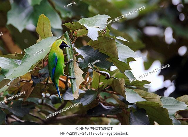 Blue-winged Leafbird (Chloropsis cochinchinensis) perched on leaves. Kaeng Krachan National Park. Thailand