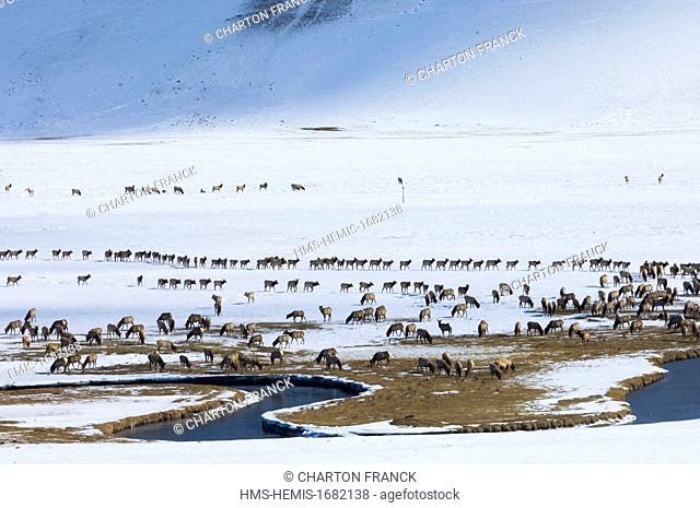 United States, Wyoming, Jackson Hole, winter migration of the wapiti