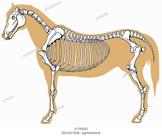 Horse Bone Anatomy Stock Photos And Images Age Fotostock
