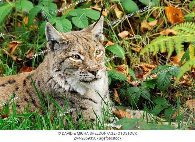 Portrait of an Eurasian lynx (Lynx lynx) in autumn in the bavarian forest