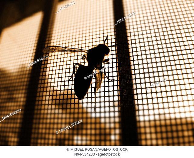 Wasp (Vespula vulgaris)