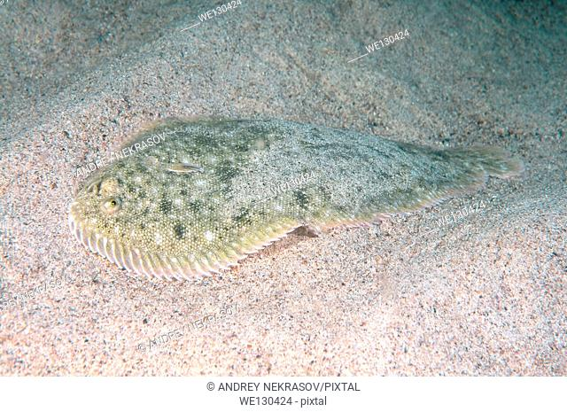 Snouted sole (Solea lascaris nasuta, Solea nasuta) Black Sea, Crimea, Ukraine, Eastern Europe