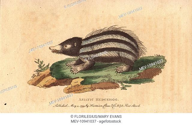Asiatic hedgehog, tanrec or tailless tendrac, Erinaceus ecaudatus. Handcolored copperplate engraving from The Naturalist's Pocket Magazine; or