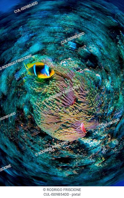 Clownfish (amphiprion bicinctus) by anemone, Marsa Alam, Egypt