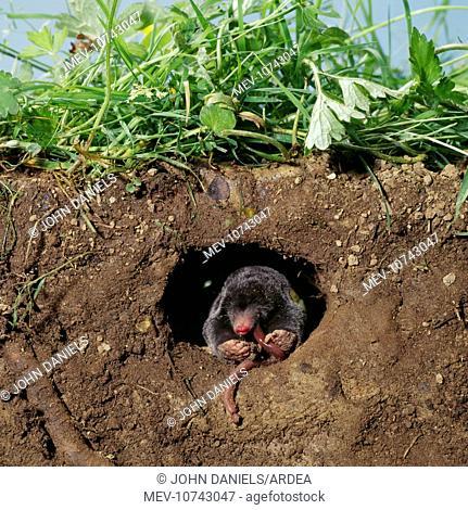 European / Common MOLE - eats worm in hole underground (Talpa europaea)