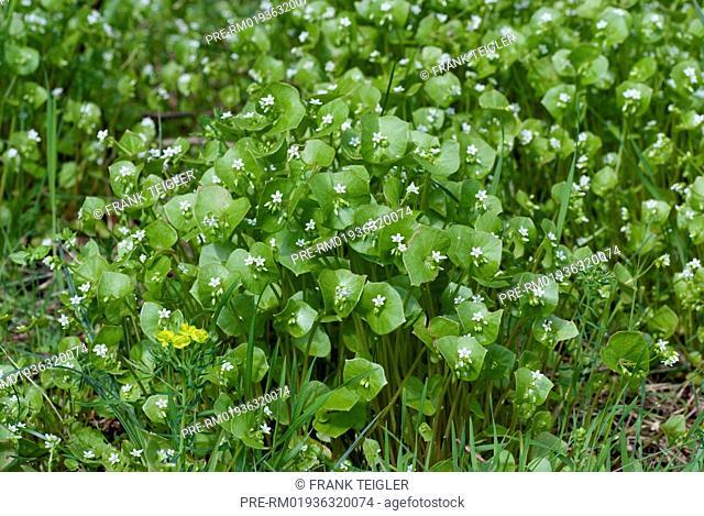 Miner's lettuce, Claytonia perfoliata / Gewöhnliches Tellerkraut, Claytonia perfoliata