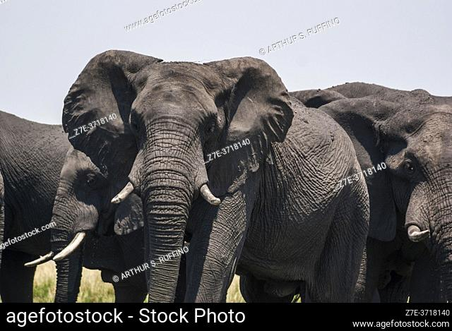 African elephants (Loxodonta) marching to the river for a swim. Chobe National Park, Botswana, Africa