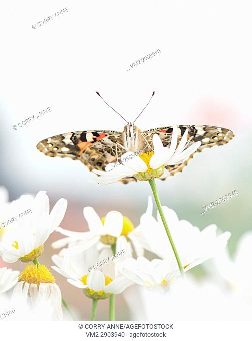 Painted Lady butterfly resting on a white daisy flower - Fraser Valley, British Columbia Canada