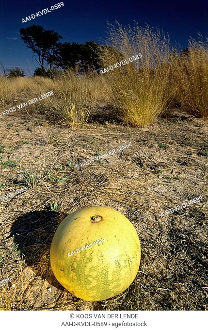 Tsamma fruit on dry ground, Molopo Game Reserve; North West Province, South Africa