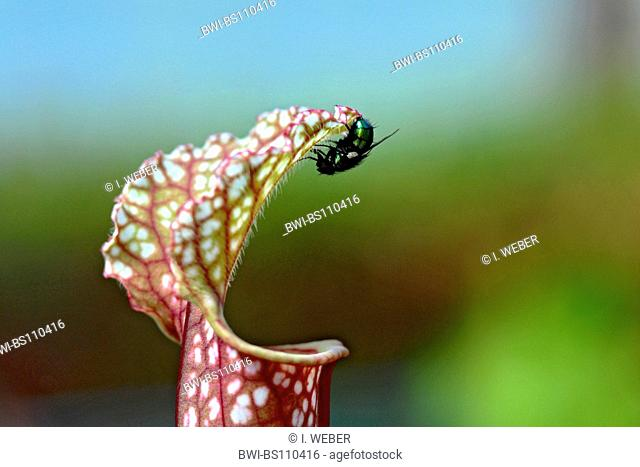 White Trumpet (Sarracenia leucophylla), funnel leaf with fly