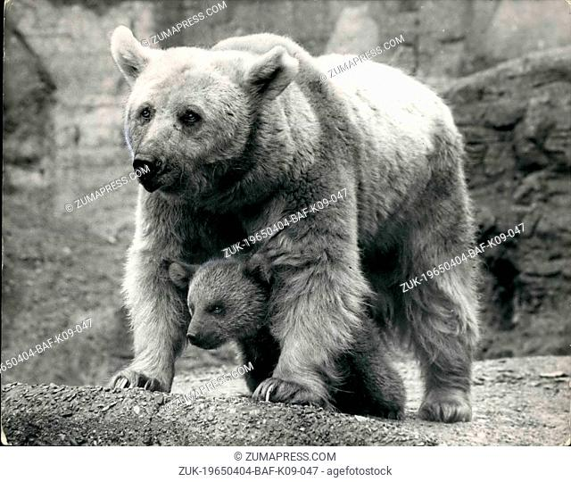 Apr. 04, 1965 - 'Buster' Becomes 'Bustle'. Born To Princess Anne's Syrian Bear - At London Zoo: The Syrian bear cub born to 'Nikki' the bear presented to...