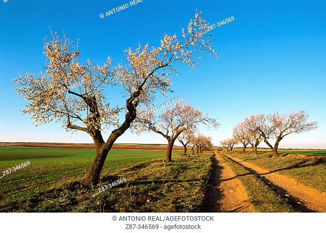 Almond trees. Corral-Rubio. Albacete province. Spain