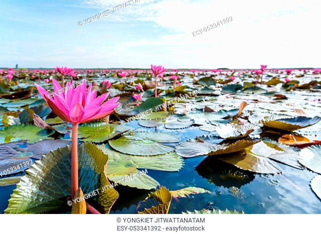 Beautiful nature landscape of many red lotus flowers, close up Red Indian Water Lily or Nymphaea Lotus in the pond at Thale Noi Waterfowl Reserve Park