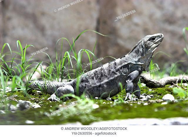 Iguana in ball park Chichen Itza Yucatan Mexico