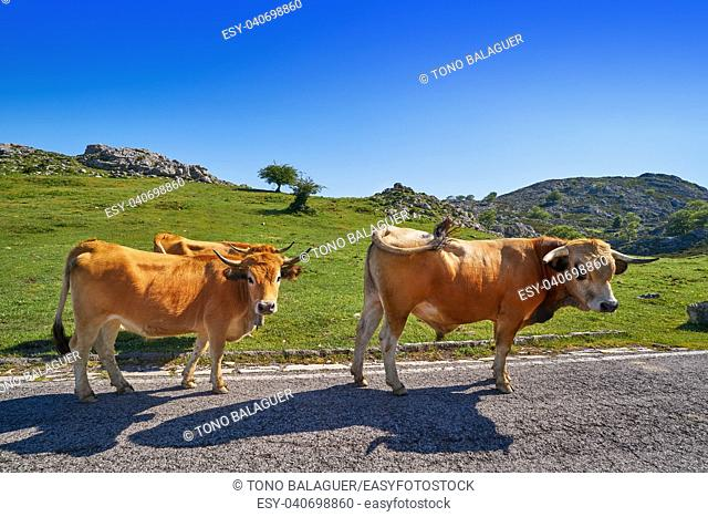 Picos de Europa in Asturias cows on the road in Spain