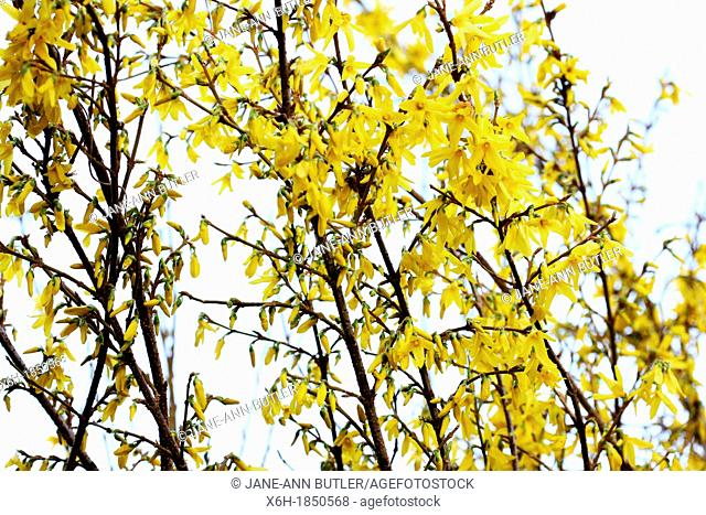 charming yellow forsythia stems in a contemporary style, delightful splash of early season colour