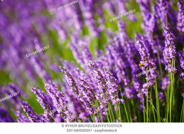 Beautiful Blooming Lavender Flowers. Summer season in Provence, France. Close up. Background