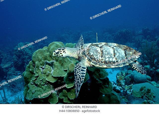 ABC, action, Caribbean Sea, Coral Reef, Curacao, diving, endangered, Eretmochelys imbricata, Hawksbill Turle, holida