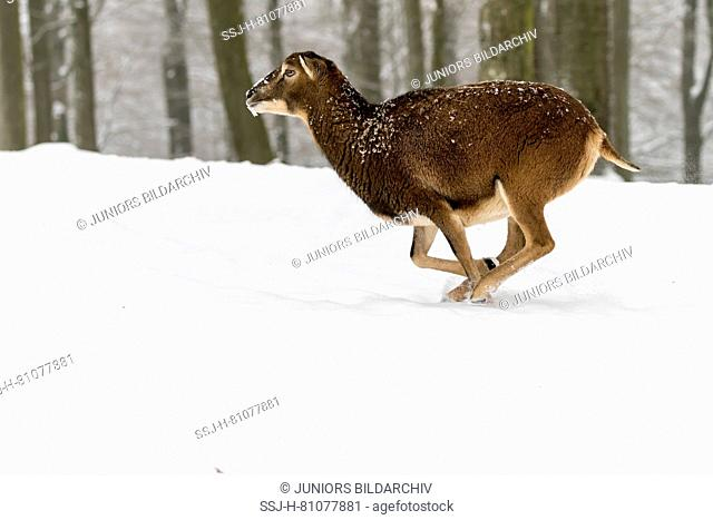 European Mouflon (Ovis orientalis musimon). Ewe running in forest in winter. Germany