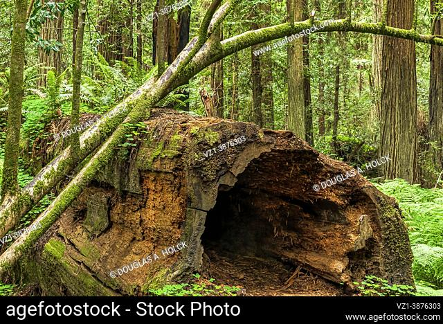 Hollowed Coast Redwood Supports Life in Drury Chaney Grove Avenue of the Giants CA USA