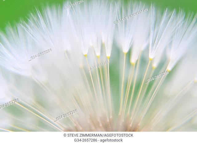 Pillow Soft Dandelion