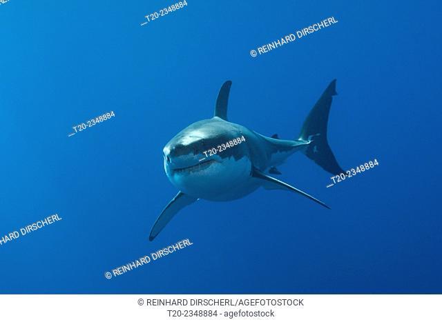 Great White Shark, Carcharodon carcharias, Neptune Islands, Australia