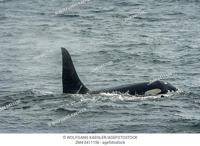 A killer whale or orca (Orcinus orca) male is swimming in Chatham Strait, Alaska, USA