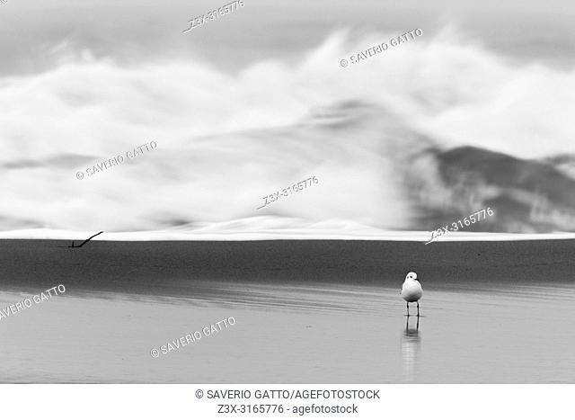 Black-headed Gull (Chroicocephalus ridibundus), adult on the shore with rough sea the background