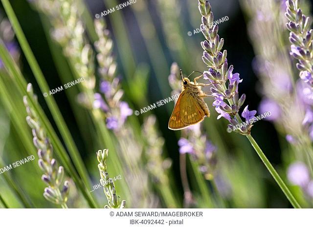 Large Skipper (Ochlodes venatus) feeding on nectar of Lavender (Lavandula angustifolia), Dordogne, Aquitaine, France