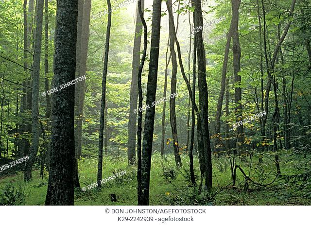 Summer woodland, Great Smoky Mountains National Park, Tennessee, USA