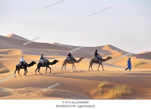 dromedary, one-humped camel Camelus dromedarius, caravan in Erg Chebbi, Morocco, Maghreb