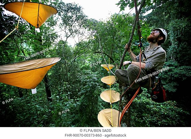 Entemologist with insect traps in treetops of cloudforest, Cusuco N.P., Sierra del Merendon, Honduras, July