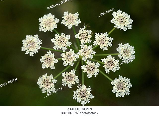 Upside view of the inflorescence of Milk Parsley