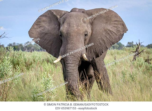 Elephant starring at the camera in the Chobe National Park, Botswana