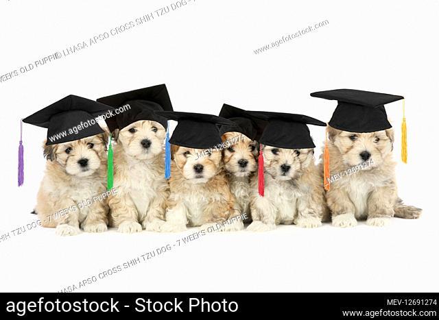 Lhasa Apso cross Shih Tzu Dog - 7 weeks old puppies wearing mortarboard graduation hats
