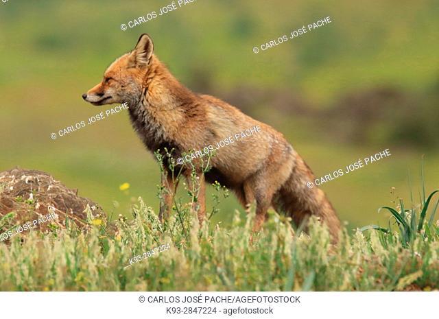 Red fox (Vulpes vulpes). Parque Nacional de Monfragüe, Caceres, Extremadura, Spain