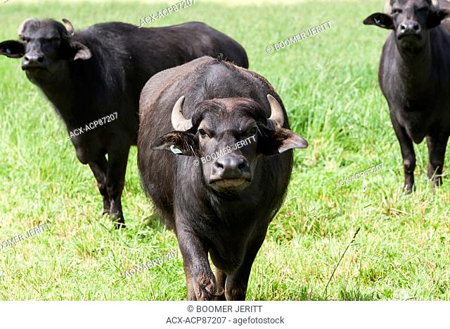 Water Buffalo (Bubalus bubalis) are a new addition on the Comox Valley agricultural scene. Courtenay, The Comox Valley, Vancouver Island, British Columbia