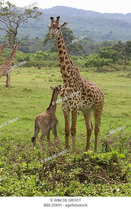 Masai Giraffe (Giraffa camelopardalis tippelskirchi) with young