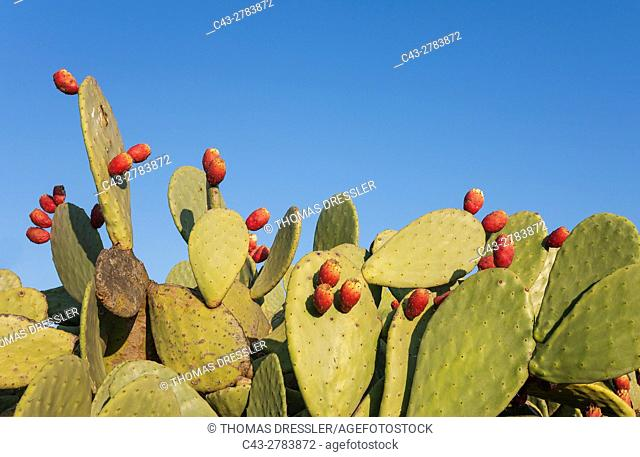 Prickly pear (Opuntia ficus-indica) - With fruit. In the Tabernas Desert, Europe's only true desert. Almeria province, Andalusia, Spain
