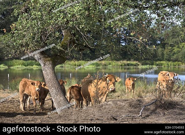 bovins au bord d'un etang, Parc naturel regional de la Brenne, departement de l'Indre, Province historique du Berry, region Centre-Val de Loire
