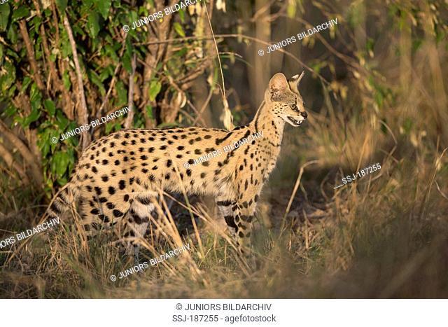 Serval (Felis serval, Leptailurus serval) standing in vegetation. Maasai Mara National Reserve, Kenya