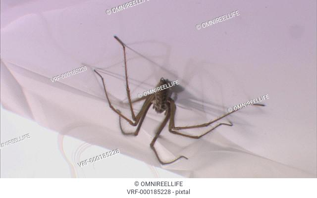 Close up of Common House Spider walking
