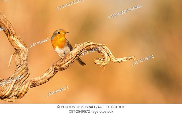 European Robin (Erithacus rubecula), Israel, winter, November